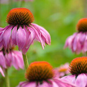 L'échinacée, une plante immunostimulante